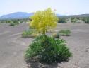 صدور مجوز برای بهره برداران گیاه آنغوزه