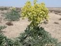 رویشگاه آنغوزه گیاه دارویی و صادراتی در سیریز زرند رو به نابودی /برخورد با برداشت کنندگان غیرمجاز آنغوزه